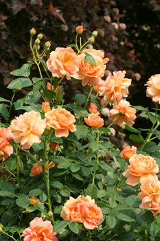 /Images/johnsonnursery/product-images/Rosa At Last 2_2xcdnoj7v.jpg