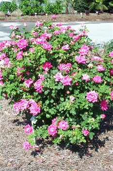 /Images/johnsonnursery/product-images/Rosa Double Pink Knock Out2042809_hea02pn75.jpg