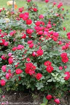 /Images/johnsonnursery/product-images/Rosa Oso Easy Double Red 2_e4ibl40mw.jpg
