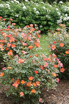 /Images/johnsonnursery/product-images/Rosa Oso Easy Hot Paprika 2_zvr3cnxwd.jpg