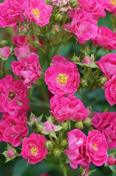 /Images/johnsonnursery/product-images/Rosa_Oso_Easy_Peasy_1_1080_1080_60_website_n5a7vfqa8.jpg