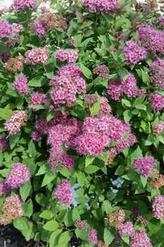 /Images/johnsonnursery/product-images/Spiraea Double Play Artist051016_xkeed7b7z.jpg