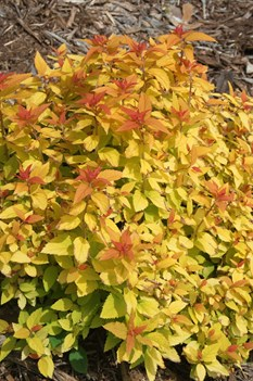 /Images/johnsonnursery/product-images/Spiraea Double Play Candy Corn 3_htcf6ktzx.jpg
