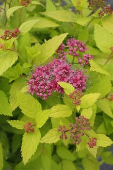 /Images/johnsonnursery/product-images/Spiraea Double Play Gold050713_p6s6dhzo0.jpg