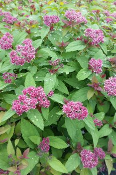 /Images/johnsonnursery/product-images/Spiraea Double Play Red071116_7p6qk09uh.jpg