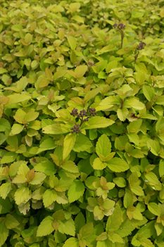 /Images/johnsonnursery/product-images/Spiraea Sundrop2050216_avmwmt9oz.jpg