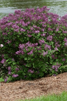 /Images/johnsonnursery/product-images/Syringa Bloomerang Dark Purple_53ng2m8qu.jpg
