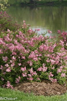 /Images/johnsonnursery/product-images/Syringa Scent and Sensibility Pink 3_7lmvlastf.jpg