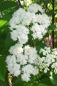 /Images/johnsonnursery/product-images/Viburnum Blue Muffin2050103_m35nzcsza.jpg
