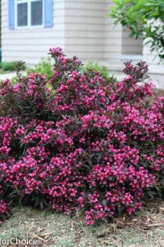/Images/johnsonnursery/product-images/Weigela Spilled Wine_tu8m04axe.jpg