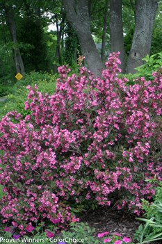 /Images/johnsonnursery/product-images/Weigela Wine and Roses_41gl8i6cb.jpg