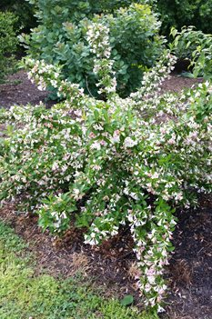 /Images/johnsonnursery/product-images/Weigelia Sonic Bloom Pearl042916_h1xtc5vak.jpg