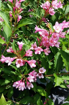 /Images/johnsonnursery/product-images/Weigelia Sonic Bloom Pink080116_fh1t16n90.jpg