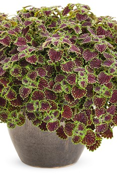 /Images/johnsonnursery/product-images/chocolate_drop_coleus_01_web_18r4jdd35.jpg