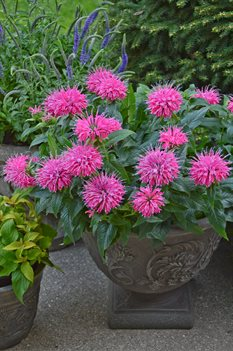 /Images/johnsonnursery/product-images/monarda_pardon_my_pink_cjw12_14_htf5li82g.jpg