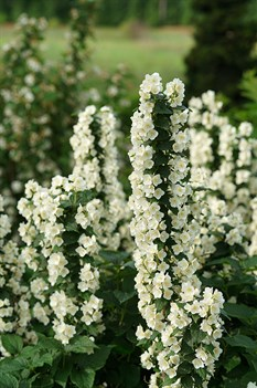 /Images/johnsonnursery/product-images/philadelphus_illuminati_tiny_tower_3_website_fn3lflxr5.jpg