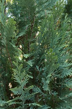 /Images/johnsonnursery/product-images/pinpoint_blue_evergreen_foliage_website_t1w3umt4k.jpg
