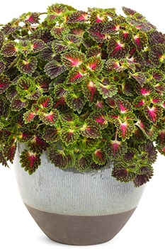 /Images/johnsonnursery/product-images/strawberry_drop_coleus_01_web_wtw5apaf3.jpg