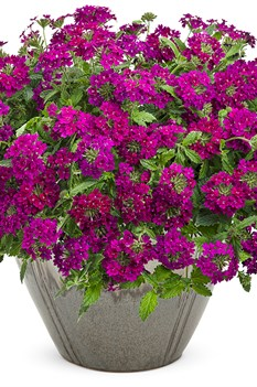 /Images/johnsonnursery/product-images/superbena-royale-plum-wine-verbena-mono_web_h86ksswwu.jpg