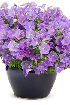 /Images/johnsonnursery/product-images/supertunia_blue_skies_mono_zl39f8pa3.jpg