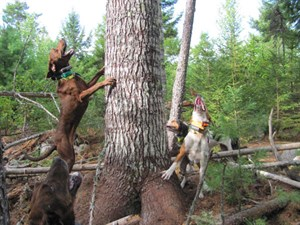 Tomah Mountain Outfitters' Hounds at Work