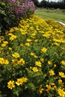 /Images/johnsonnursery/Products/Annuals/Bidens_Goldilocks_Rocks_-_6-27-12_034.JPG