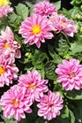 /Images/johnsonnursery/Products/Annuals/D__Dalina_Midi_Malaysia_5-24-12_118.JPG