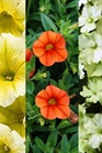 /Images/johnsonnursery/Products/Annuals/MXDSSM.jpg