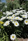 /Images/johnsonnursery/Products/Perennials/Leucanthemum_Daisy_May.jpg