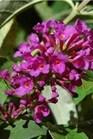 /Images/johnsonnursery/Products/Woodies/Buddleia_Flutterby_Petite_Tutti_Frutti_Pink_-_Ball.jpg