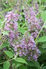 /Images/johnsonnursery/Products/Woodies/Buddleia_Lochinch.jpg