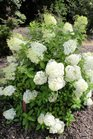 /Images/johnsonnursery/Products/Woodies/Hydrangea_Bobo_3071413.jpg