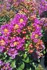 /Images/johnsonnursery/Products/Woodies/Lagerstroemia_Purple_Magic_for_web_2072312.jpg