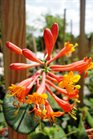 /Images/johnsonnursery/Products/Woodies/Lonicera_Dropmore_Scarlet_for_web.jpg