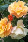 /Images/johnsonnursery/Products/Woodies/Rosa_Tequila_for_web_043012.jpg