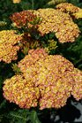 /Images/johnsonnursery/product-images/Achillea Desert Eve Terracotta3042716_t5wvwikkw.jpg