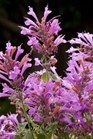 /Images/johnsonnursery/product-images/Agastache Acapulco Deluxe Rose_4tc95ivkt.jpg