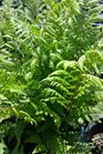 /Images/johnsonnursery/product-images/Athyrium Lady in Red042716_09u9ahx77.jpg