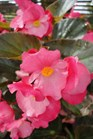 /Images/johnsonnursery/product-images/Begonia Big Rose with Bronze Leaf2071413_77poxzp94.jpg