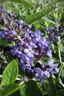 /Images/johnsonnursery/product-images/Buddleia Flutterby Petite Blue Heaven062113_p76xkrj2e.jpg