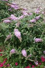 /Images/johnsonnursery/product-images/Buddleia Pugster Pink 2_mmtfxaq2n.jpg
