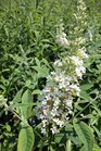 /Images/johnsonnursery/product-images/Buddleia Silver Frost2062613_5r9vp2bih.jpg