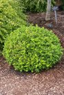 /Images/johnsonnursery/product-images/Buxus Baby Gem052116_b3i4s4wap.jpg