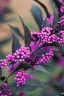 /Images/johnsonnursery/product-images/Callicarpa Pearl Glam_b9p6kzl9s.jpg