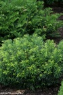 /Images/johnsonnursery/product-images/Cephalotaxus Duke Gardens_nt2qkb4ud.jpg