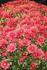 /Images/johnsonnursery/product-images/Chrysanthemum Amadora Red_i73ctgqs9.jpg