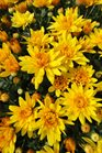 /Images/johnsonnursery/product-images/Chrysanthemum Conaco Gold3093013_nff4nka11.jpg