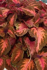 /Images/johnsonnursery/product-images/Coleus Mainstreet Sunset Blvd_69tofppuh.jpg