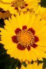 /Images/johnsonnursery/product-images/Coreopsis Sunfire5052907_t0kf4titi.jpg