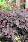 /Images/johnsonnursery/product-images/Cotinus Winecraft Black_vmk048vos.jpg